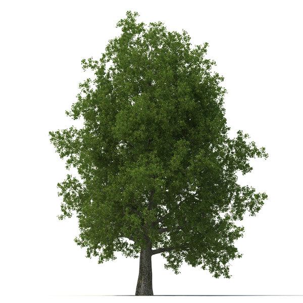 Yellow Poplar Old Tree Summer 3D Models