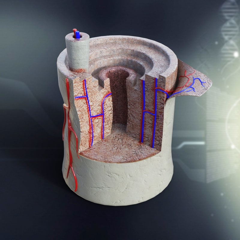 human_bone_anatomy_3d_model_c4d_max_obj_fbx_ma_lwo_3ds_3dm_stl_1305964_o.jpg