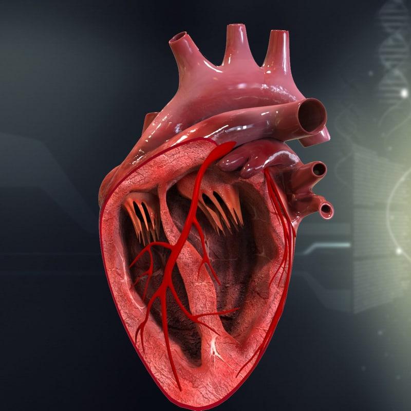 human_heart_cutaway_anatomy_3d_model_c4d_max_obj_fbx_ma_lwo_3ds_3dm_stl_1308446_o.jpg