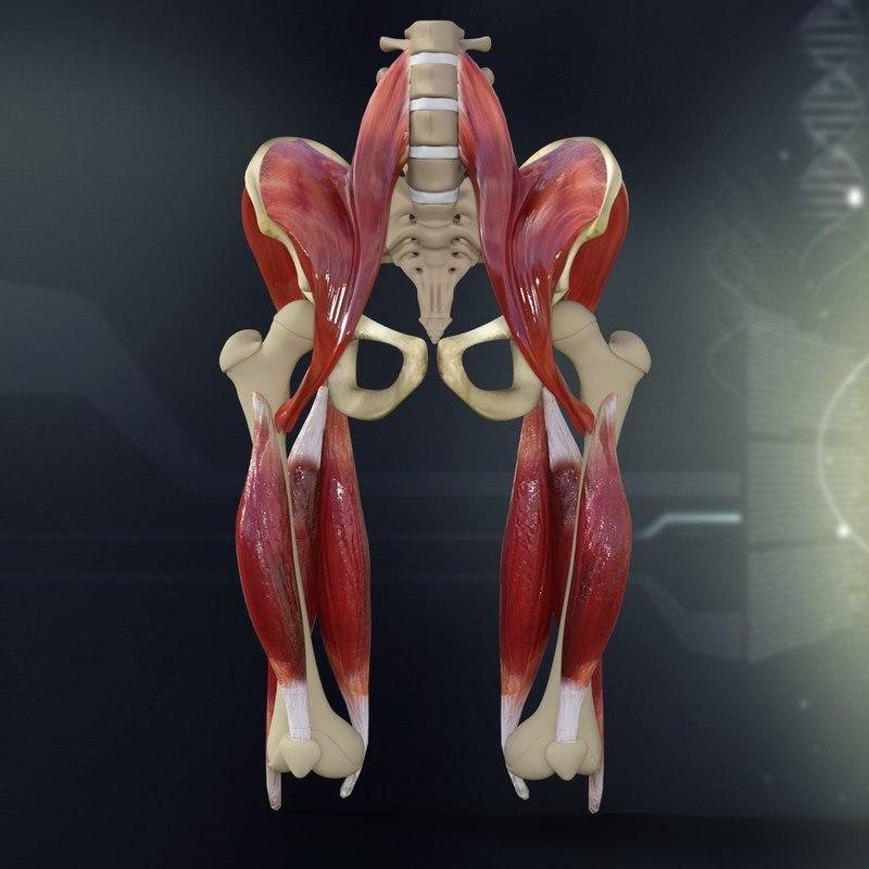 human_pelvis_muscle_bone_anatomy_3d_model_c4d_max_obj_fbx_ma_lwo_3ds_3dm_stl_1300954_o.jpg