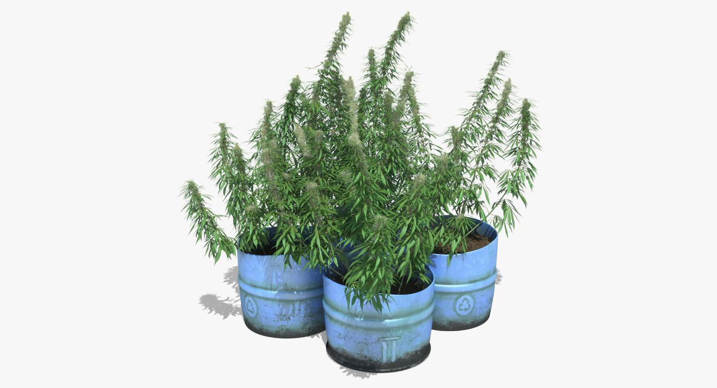 Cannabis_Sativa_Potted_Plants_Set_001_100x185sign.jpg