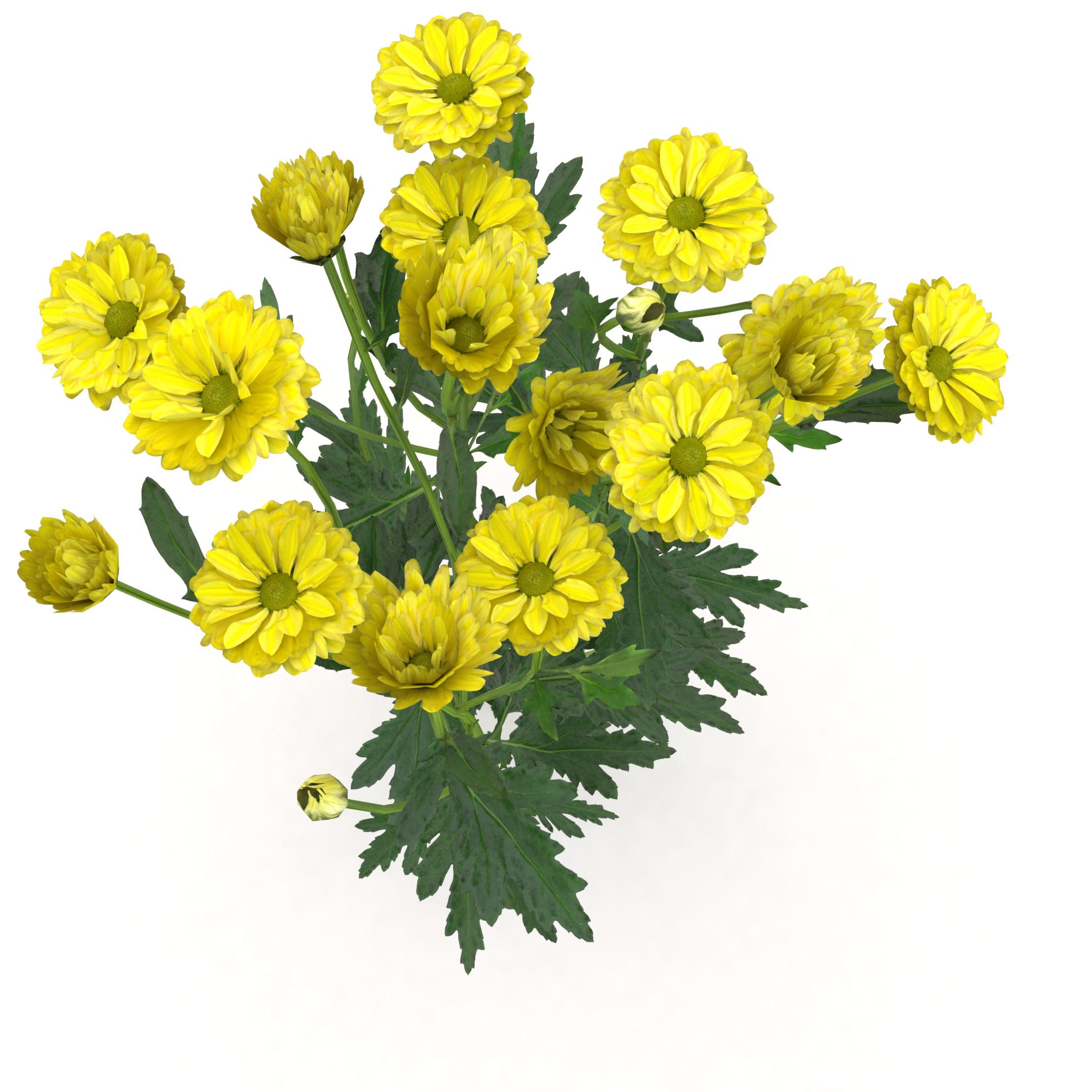 002_chrysanthemum_02.png