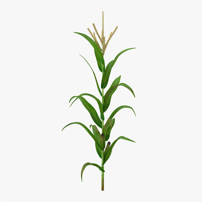 Corn Plant corn plant drawing - #pr-energy