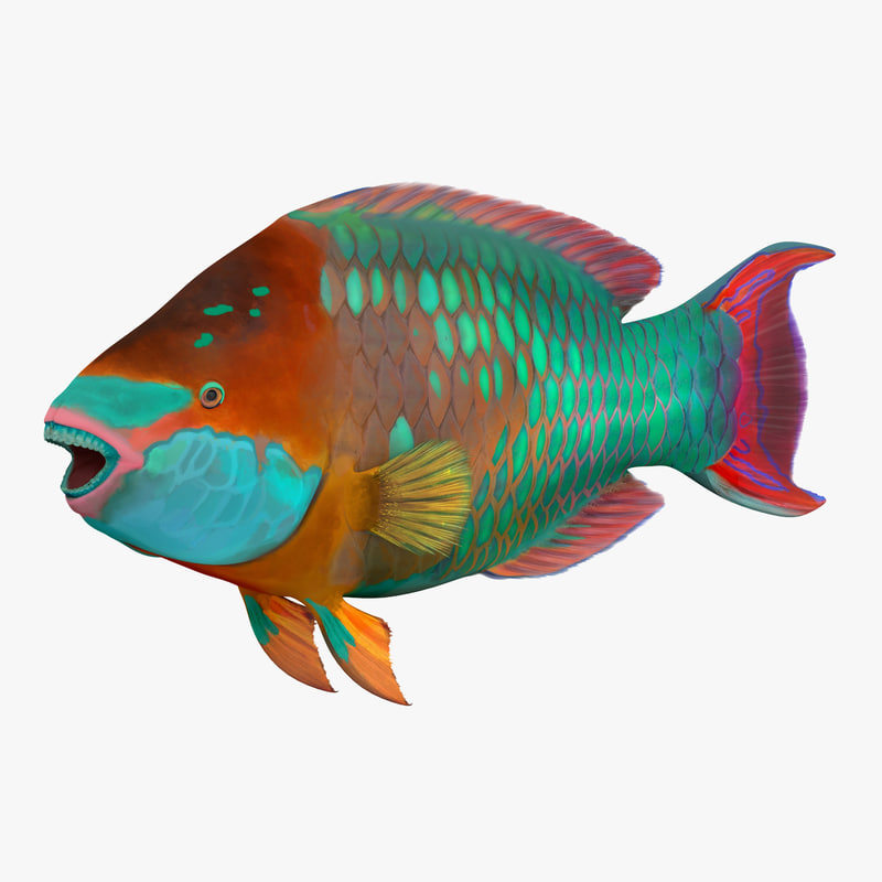 Rainbow parrot fish max for Rainbow parrot fish