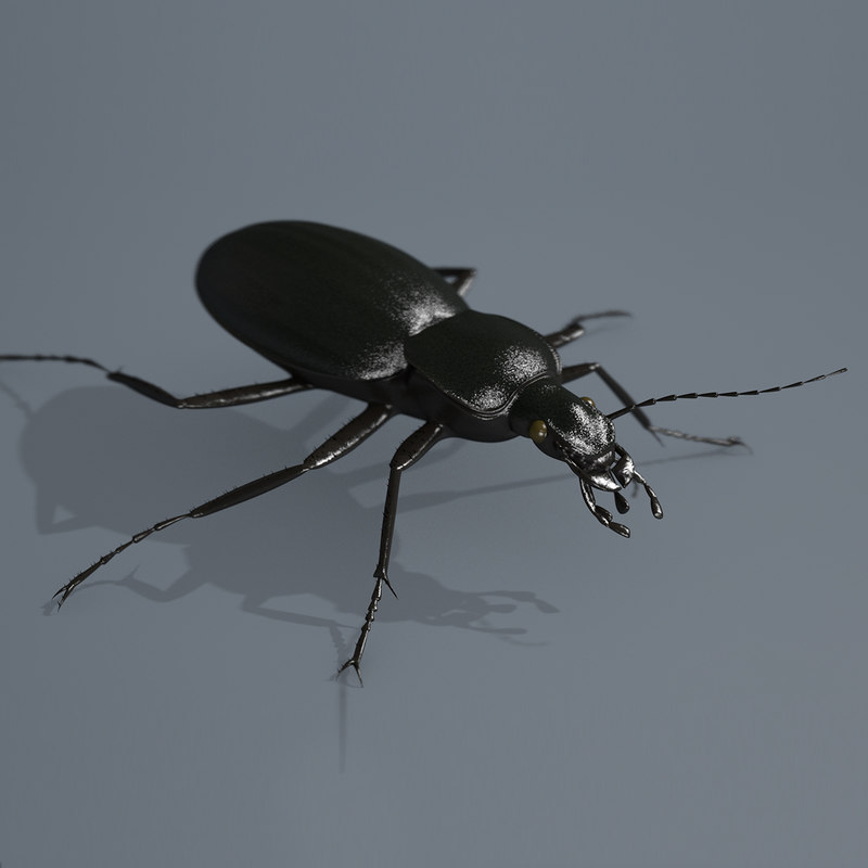 BeetleCarabusCoriaceus01.jpg