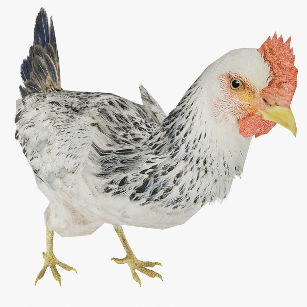 ChickenDisplayPic1.jpg