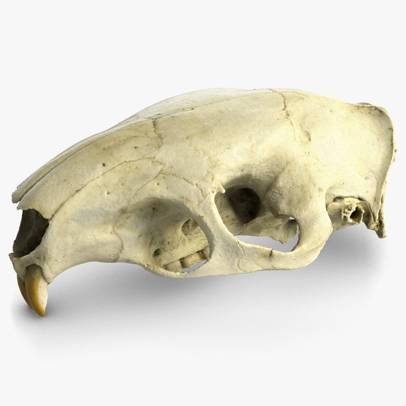 Rat Skull Anatomy 8162058 Togelmayafo