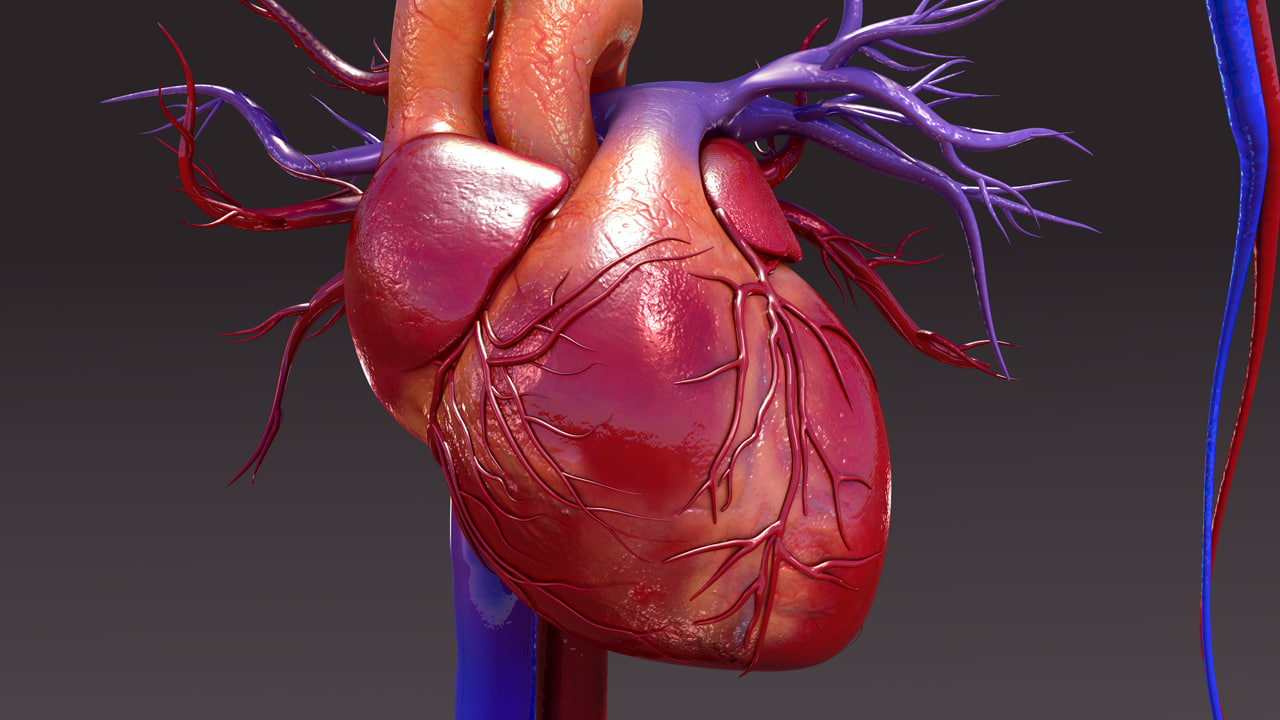 B0023 Circulatory System_closeup.jpg