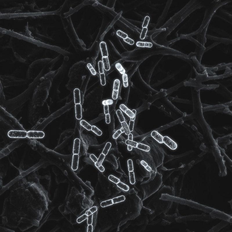 Bacteria_Multipling0.jpg