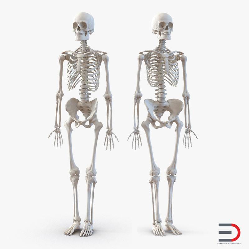 Human Male and Female Skeletons Collection 3d models 01.jpg