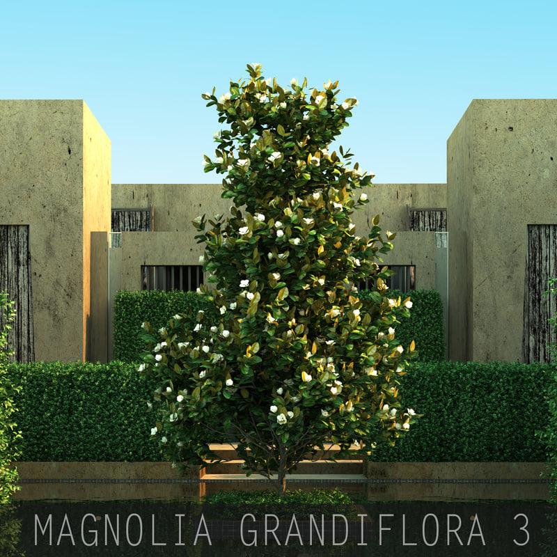 Magnolia grandiflora03_00.jpg