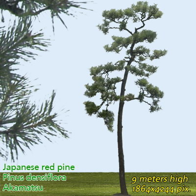 Japanese Red Pine 1 High Resolution