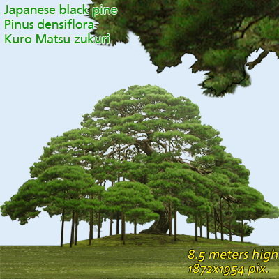 Japanese Black Pine  High Resolution