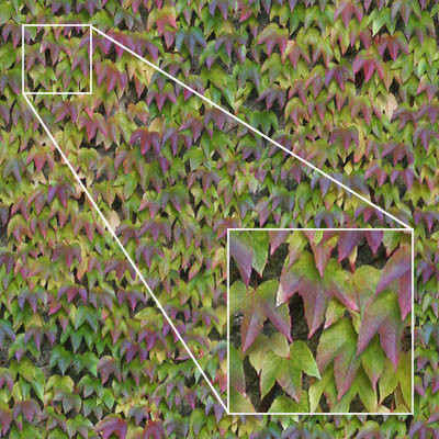 High rez ivy texture