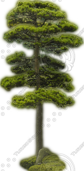 Japanese White Pine 2 ---------------------  High Resolution